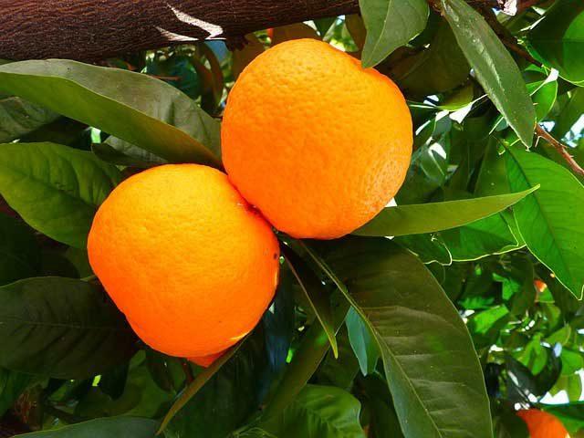 Orangenlikör 2