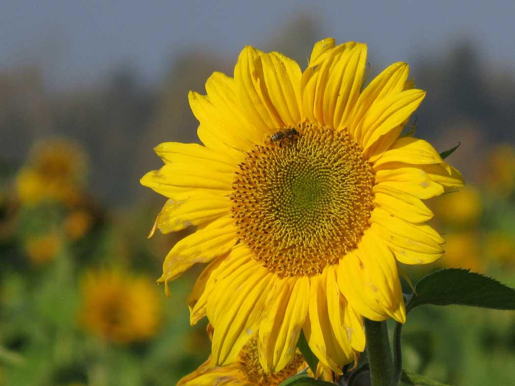 Die Sonnenblume