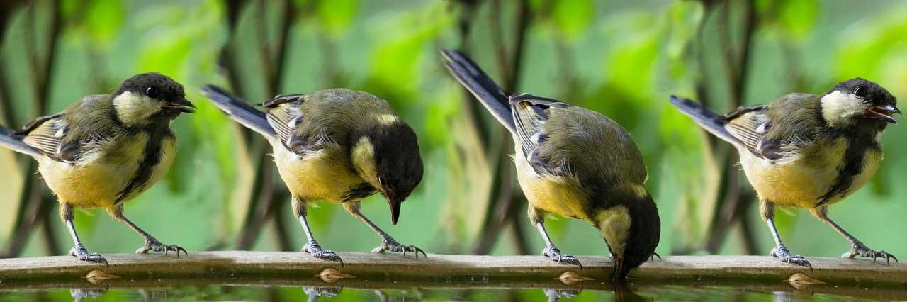 Vögel trinken